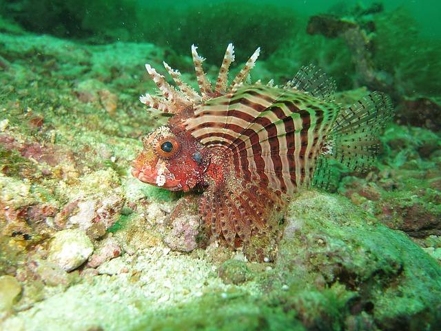 lionfish-1179264_640