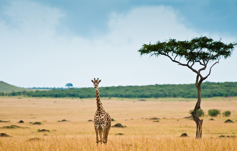 afrika-savanna-zhiraf