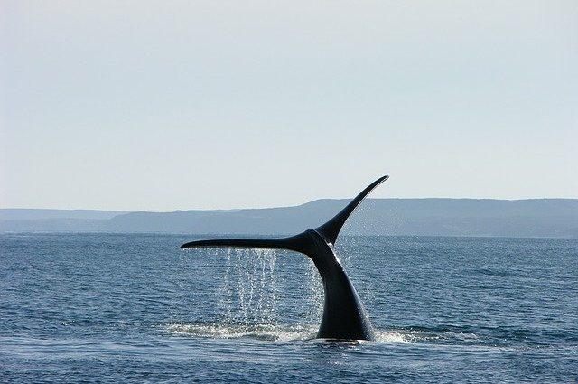 whale-1181395_640