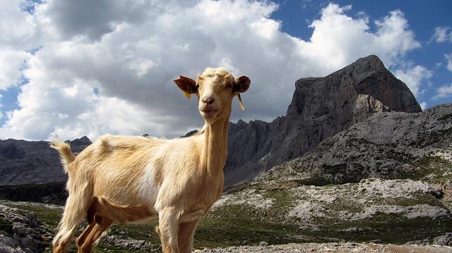 goat-546167_640