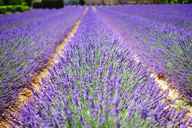 lavender-flowers-1595487_640