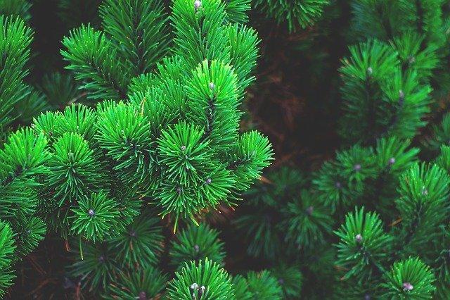 pine-sosna-tree