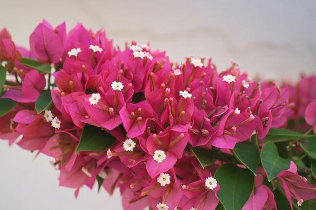 bodrum-flower-tsvetok
